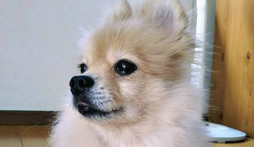 【犬の里親】ミミ外耳炎になり病院へ/ペットと医療費の問題についても